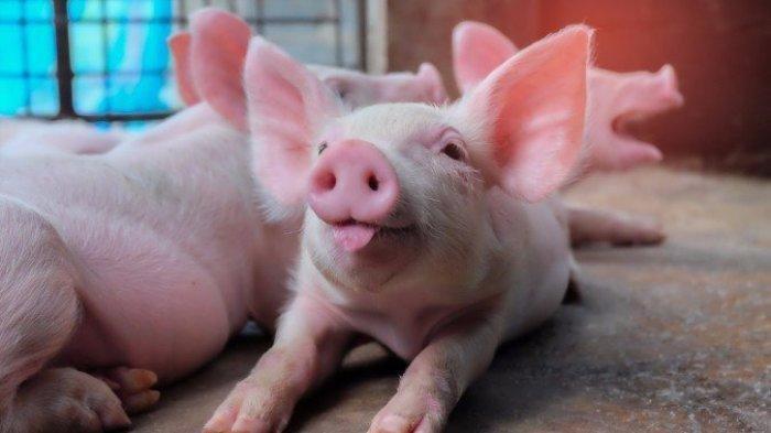 Berikut Alasan Flu Babi G4